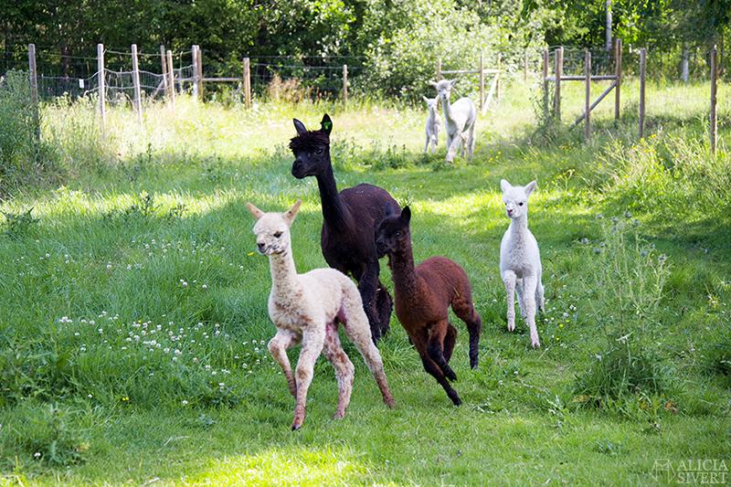 Matning av alpackor i fölhagen, Norrängens alpackagård, foto av Alicia Sivertsson - www.aliciasivert.se / brunt brun vit vitt alpacka föl alpackaföl
