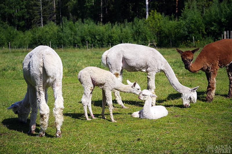 Matning av alpackor i fölhagen, Norrängens alpackagård, foto av Alicia Sivertsson - www.aliciasivert.se / alpacka föl alpackaföl