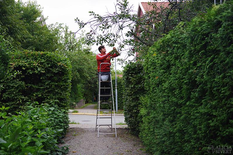 Andreas plockar körsbär - www.aliciasivert.se