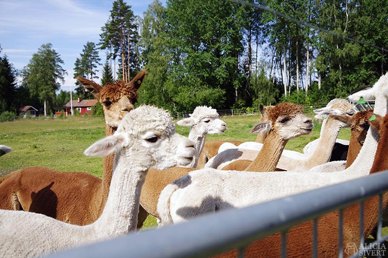 När vi fick mata alpackor på Norrängens alpackagård, Sala - www.aliciasivert.se // alpacka alpaca hage bed and breakfast b&b