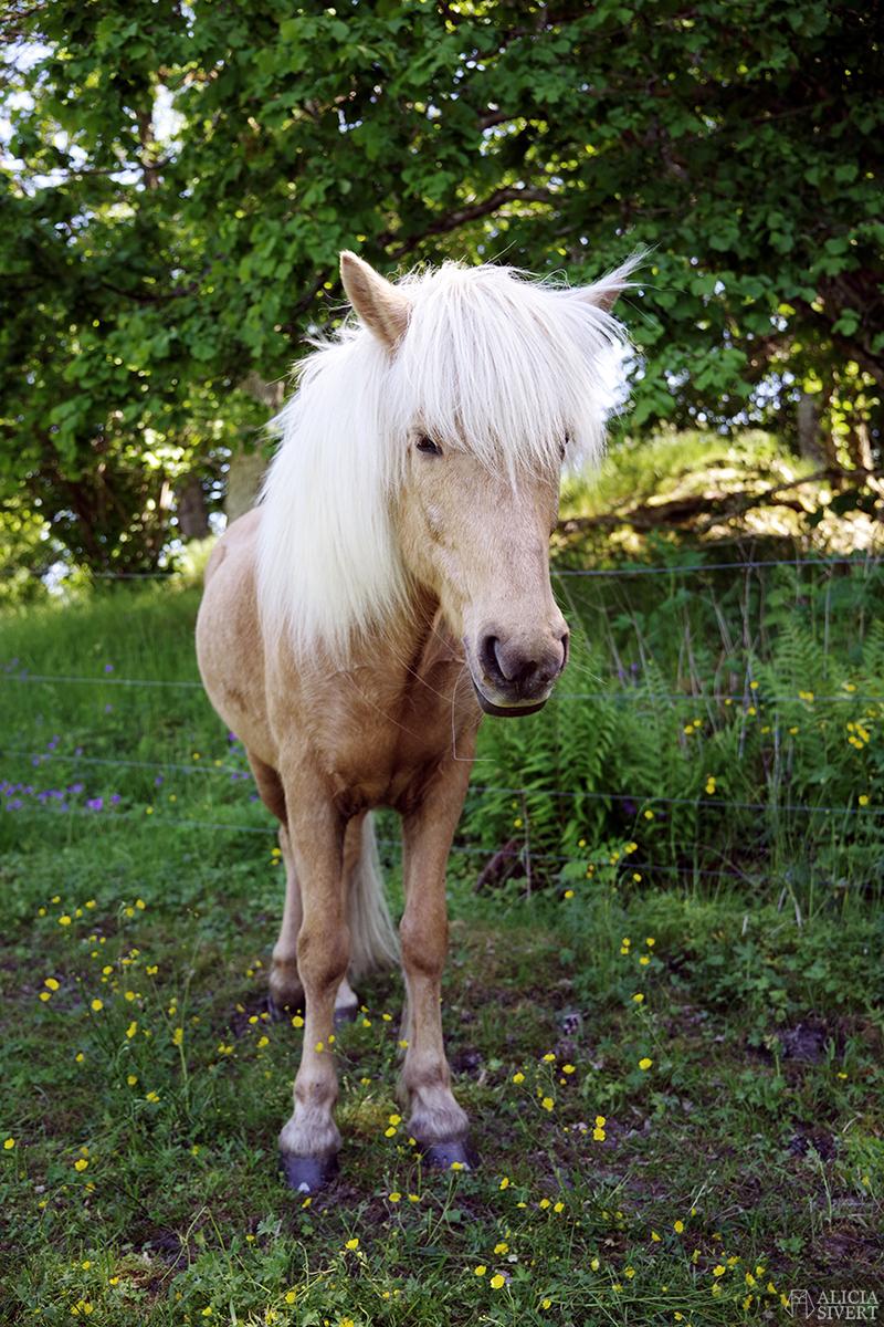 aliciasivert.se alicia sivert aliciasivert sivertsson häst ponny islandshäst isabellfärgad isabell