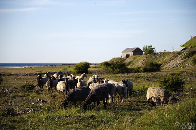 Får och stenstuga på strandäng. Gotland i juni - www.aliciasivert.se