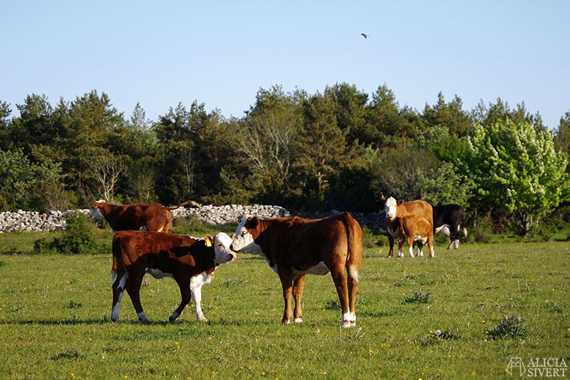 Kalv och ko som nosar på varandra. Gotland i juni - www.aliciasivert.se