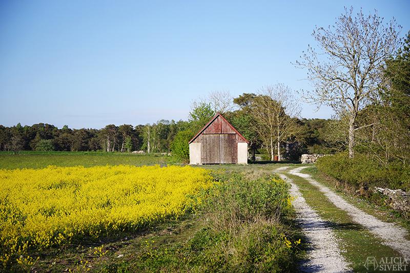 Lada med gula blommor i förgrunden. Gotland i juni - www.aliciasivert.se