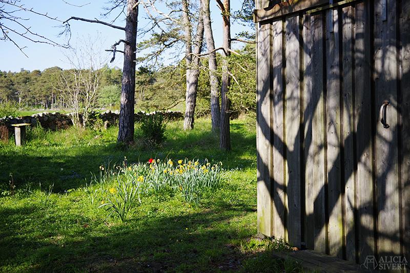 Blommande påskliljor på skogstomt. Gotland i juni - www.aliciasivert.se